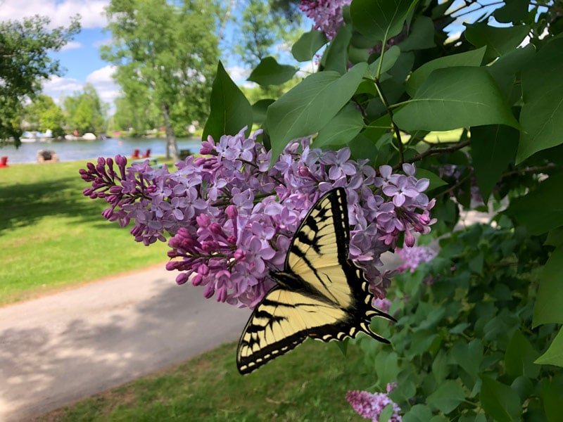 Eastern Tiger Swallowtail butterfly resting on lavender lilac bloom.